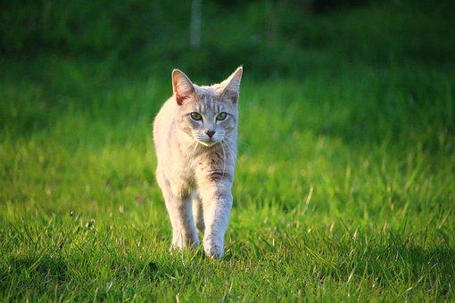 Cat, Kitten, Mackerel, Mieze, Breed Cat, Young Cat