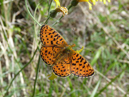 Pearl-bordered Fritillary, Butterfly, Insect