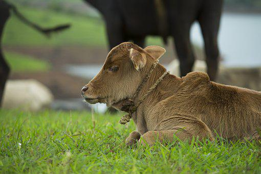 Baby, Farm, Calf, Feeding, Cow, Mother, Pasture
