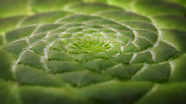 Aeonium Tabuliforme, Succulent Dish, Plant, Close