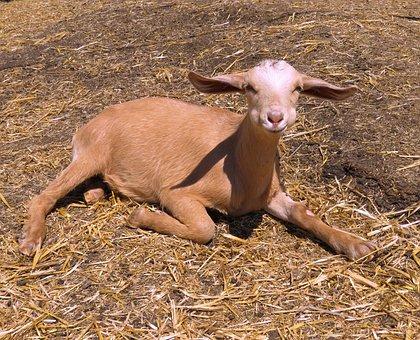 Baby Goat, Goat, Farm, Baby, Cute, Goatling, Kid