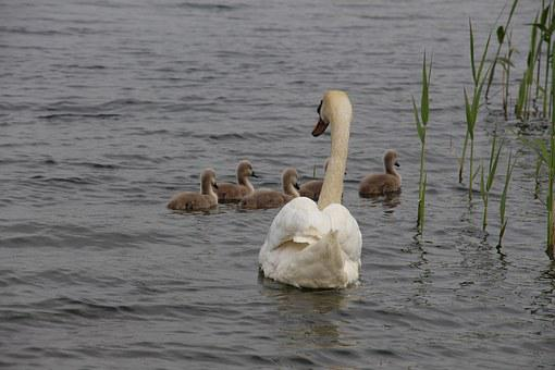 Swan, Nature, Animal, Water Bird, Pride, Cygnet