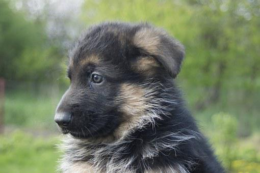 Puppy, German Shepherd, Tiny, Cute, Animal, Dog, Pet
