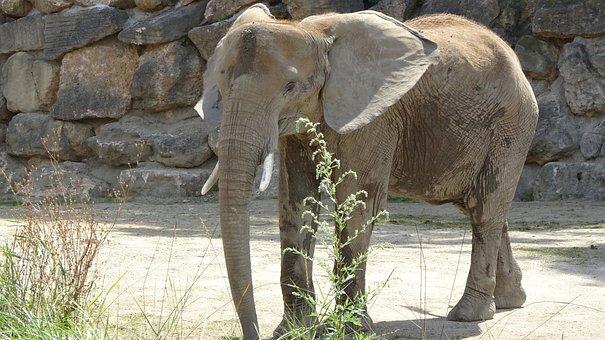 Elephant, Zoo, Tiergarten Schönbrunn