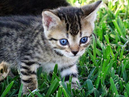Cat, Eyes, Blue, Blue Eye, Cat Baby, Tiegerkatze, Young