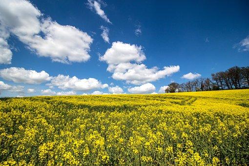 Meadow, Field Of Rapeseeds, Yellow, Landscape