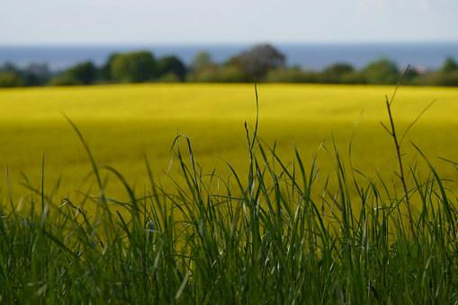 Field Of Rapeseeds, Oilseed Rape, Blossom, Bloom