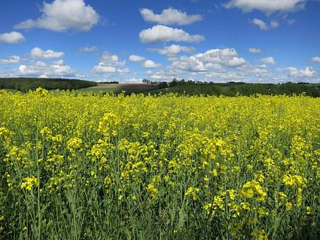 Field Of Rapeseeds, Sky, Clouds, Yellow, Landscape