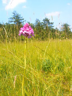 Pyramidal Orchid, Orchid, Jena, Plant, Flower, Flora