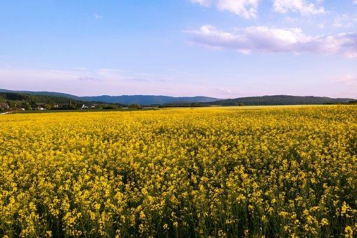 Oilseed Rape, Field Of Rapeseeds, Yellow, Flowers