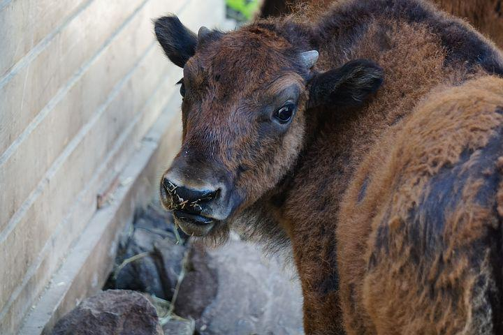 Bison, Baby, Ungulate, Fur, Fluffy, Child, Animal, Cow