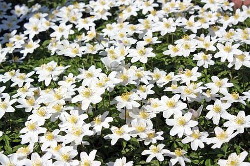 Wood Anemone, Flower, Forest, Nature