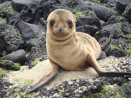 Sea Lion, Galapagos, Zalophus Wollebaeki, Baby, Young
