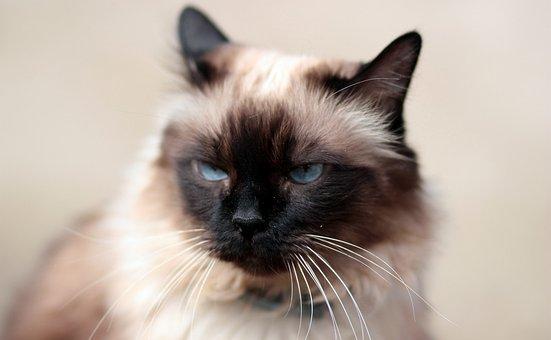 Cat, Siamese, Blue Eyes, Fat, Gray