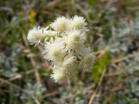 Arenarium, Flowers, Gnaphalium, Green, Helichrysum