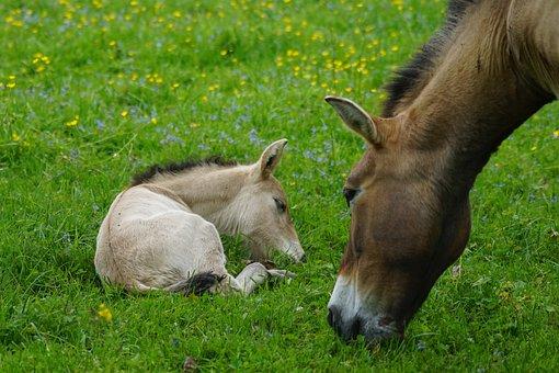 Przewalski, Mare, Foal, Wild Horse, Horse, Baby Horse