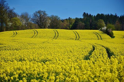 Oilseed Rape, Landscape, Meadow, Field, Sky, Sun, Idyll