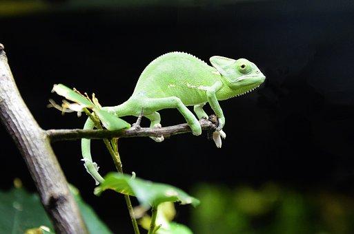 Chameleon, Scales Lizards, Iguana, Reptile, Color