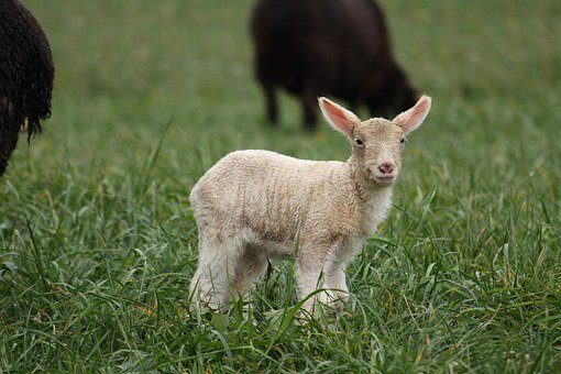 Animal, Sheep, S, Head, Lambs, Animals, Ireland