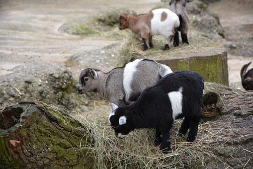 Goat, Baby, Animal, Cute, Goat Baby, Fur, Kid
