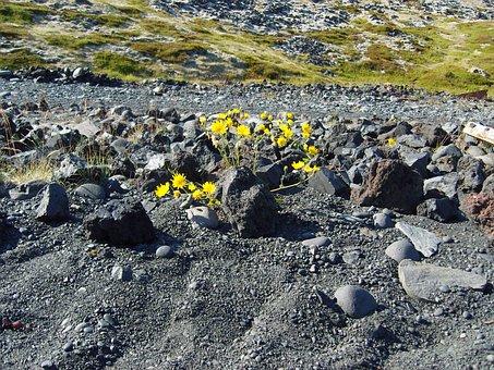 Iceland, Lava, Plant, Flower, Grey, Yellow, Stones