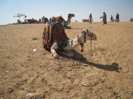 Camel, Egypt, Cairo, Laying Down, Mammal, Domestic