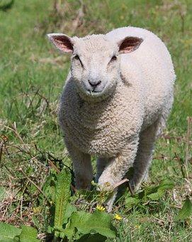 Sheep, Lamb, Field, Farm, Agriculture, Wool, Livestock