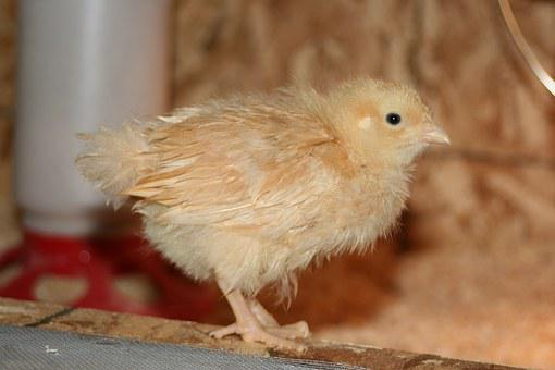 Chick, Chicken, Bird, Livestock, Poultry, Animal