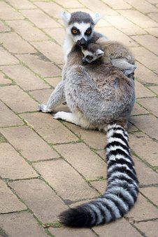 Lemurs, Lemuraap, Lemur, Mammal, Maki, Animal, Nature