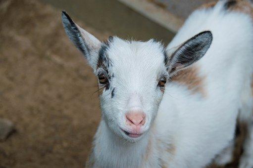 Goat, Cute, Animal, Kid, Mammal, Small, Young Animal
