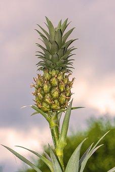 Mini Pineapple, Pineapple, Plan, Eat, Tropical, Fruit