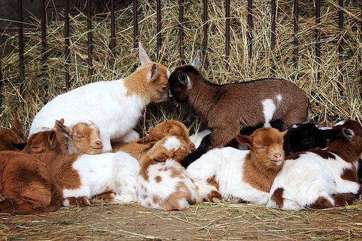 Goats, Animals, Goat Baby, Animal, Breeding, Kids, Nap