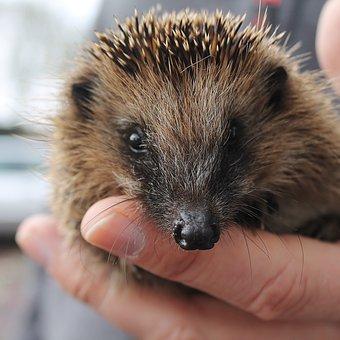 Hedgehog, Wild Animals, Hedgehog Baby, Spur, Nature