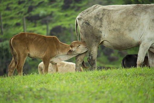 Calf, Feeding, Cow, Mother, Pasture, Baby Animal