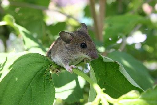 Mouse, Pest, Animal, Cute, Baby Mouse, Rodent, Nager