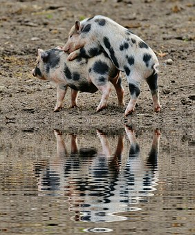 Piglet, Mirroring, Water, Bank, Wildpark Poing, Baby