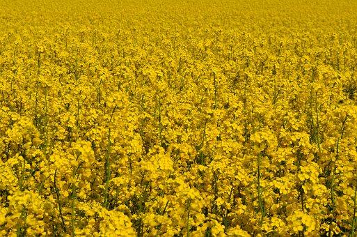 Yellow, Oilseed Rape, Field Of Rapeseeds, Plant