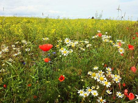 Meadow, Flowers, Field, Poppies, Poppy, Cornflowers