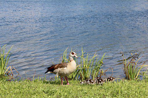 Duck, Chicks, Baby, Young, Protect, Vigilant, Cute