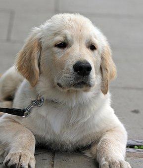 Dog, Puppy, Golden Retriever, Retriever, Golden, Cute