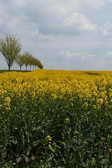 Oilseed Rape, Blossom, Bloom, Agriculture, Rare Plant