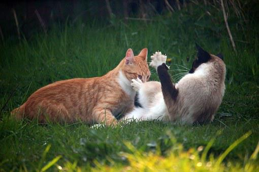 Cat, Kitten, Mieze, Siamese Cat, Siam, Fight, Play