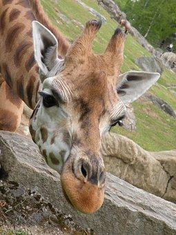 Curious, Baby, Smell, Cute, Giraffe, Watch, Scout
