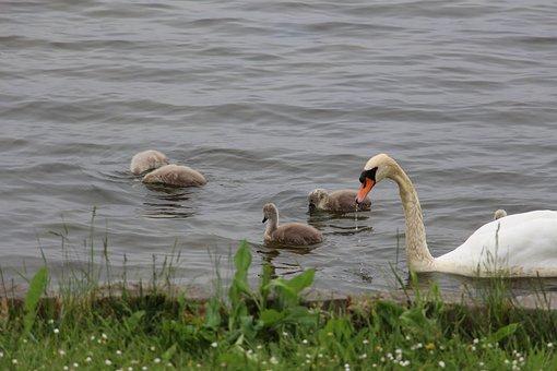 Swan, Nature, Animal, Water Bird, Pride, Cygnet