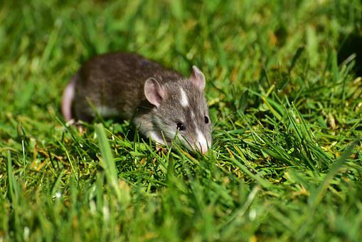 Rat, Baby, Baby Rats, Small, Cute, Sweet, Needy, Nager