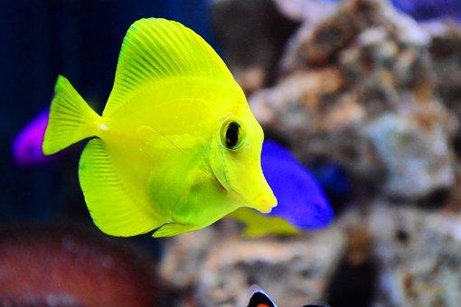 Tang, Baby, Aquarium, Marine, Fish, Yellow, Vegetarian