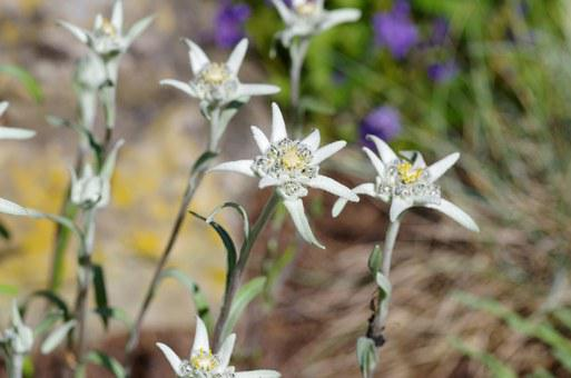 Edelweiss, Protected, White, Rarely