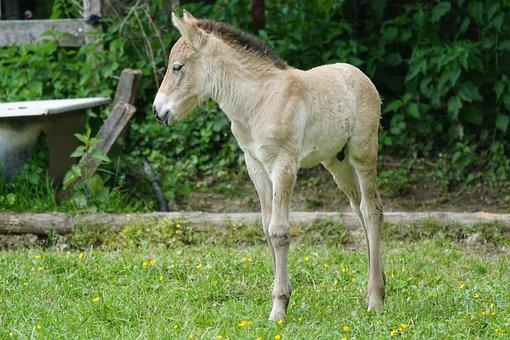 Przewalski, Foal, Wild Horse, Horse, Baby Horse, Cute