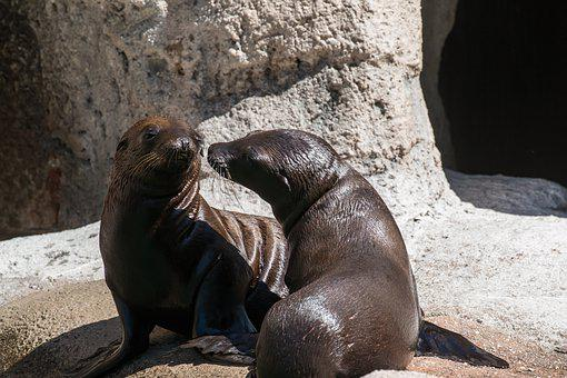 Sea Lion, Pup, Baby, Wildlife, Young, California