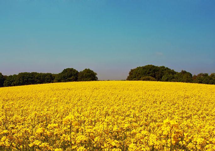Oilseed Rape, Field Of Rapeseeds, Yellow, Blossom